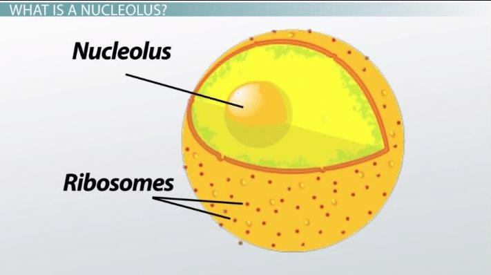 Función del nucleolo