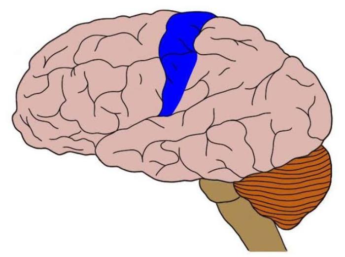 ubicación de la corteza somatosensorial