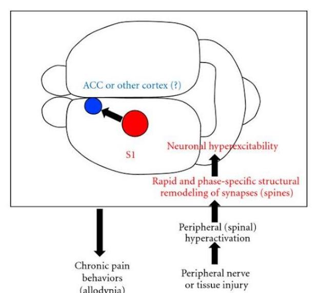 función de la corteza somatosensorial