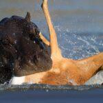¿Los hipopótamos comen carne?
