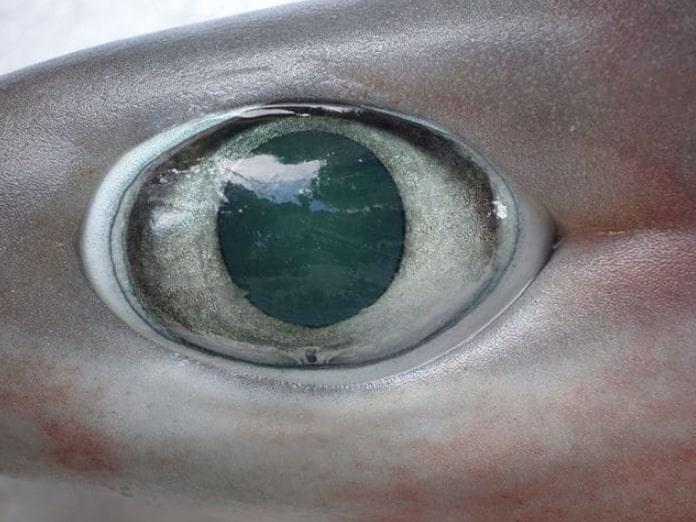 La mayoría de los tiburones tienen buena vista